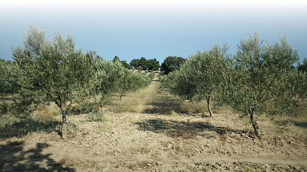 Orfion Olive Oil