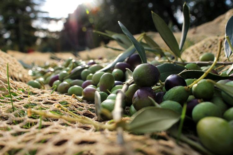 Çanakkale Zeytinyağı